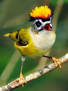 Firecrest Bird via Paradise of Birds on Facebook