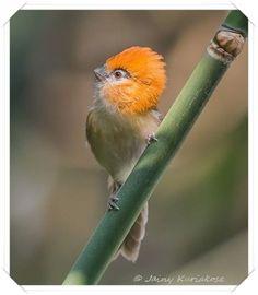 Küçük kızıl saçlı Parrotbill, Hindistan