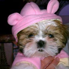 Shih Tzu puppy love <3 love my Ella Belle<3