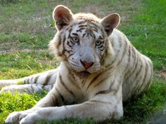 NOAH'S ARK ANIMAL SANCTUARY, 712 LG Griffin Road, Locust Grove, GA 30248; 770-957-0888; Open Tuesday through Saturday throughout the year, except on major holidays. Closed Christmas Day and New Year's Day. ANIMAL HABITATS: Open Tuesday – Saturday; Noon – 3 p.m. ET (weather permitting); Noah's Ark is an outdoor facility. Please call ahead to make sure we're open – 770-957-0888.  WELCOME CENTER, PICNIC AREA AND OFFICE: Open Tuesday – Saturday, 9 a.m. – 4 p.m. ET