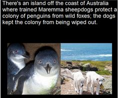 """""""No foxes have killed penguins in the past seven years""""  The Maremma Project on Warrnambool's Middle Island, off the south coast of Australia. took Maremma sheepdogs, a breed originally from central Italy, and brought them to the island to protect a dwindling population of penguins"""
