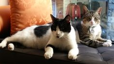 """We officially welcomed Gin & Tequila our two cats You will see them strolling around the Hotel,waiting to be cuddled"""" Tequila, Gin, Cuddling, Waiting, Cats, Animals, Physical Intimacy, Gatos, Animales"""