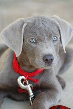 A beautiful grey puppy with blue eyes sitting while waiting for its walk.