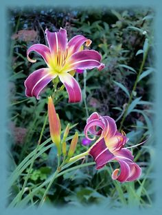 A pair of Prince of Purple daylily flowers bloom against a background of foliage. Vignette added to this floral image captured at MTBobbins Daylilies in New Hampshire.