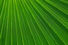 This picture is in Public Domain. Palm Leaf Texture by VeraKratochvil