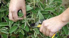 Salbei im Garten selbst pflanzen – so können Sie das Küchenkraut zurückschneiden, überwintern, ernten und trocken. Die richtige Pflege für Salbei.