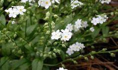 'Victoria White' Myosotis sylvatica - Skov-Forglemmigej, farve: hvid, lysforhold: halvskygge, højde: 15-40 cm, blomstring: maj, velegnet til buketter, selvsående, blomstre på 2. år, trives i let og næringsrig jord, vandes ofte, kan sås hele året.