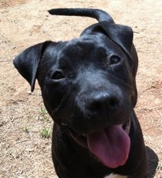 URGENT!  Update 5/18: Herbie's hold period is up as of today and he has no applications. He's a good pup – he likes other dogs and is friendly/submissive to people. Please come down to Animal Control to meet Herbie if you think he might be a good fit for your family!  http://www.athenspets.net/?p=40504#
