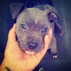 #Pitbull #Puppy