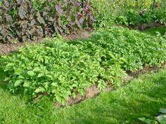 Pommes de terre sous carton, paillis et compost avec astuces d'associations plantes/fleurs contre les maladies
