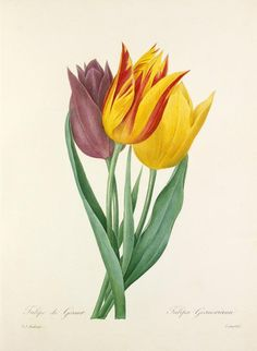 Royal Horticultural Society floral prints Pierre-Joseph Redouté #botanical #illustration #tulips