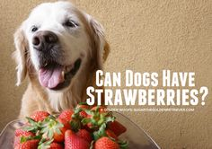 Curious if dogs can have strawberries? Dogs can have strawberries in moderation. List of four benefits and 7 dog treat recipes made with strawberries. Dog Treat Recipes, Dog Food Recipes, Can Dogs Eat Strawberries, Pet Health, Dog Treats, Food Hacks, Puppy Love, Animal Pictures, Labrador Retriever