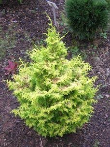 Chamaecyparis obtusa ' Spirited ' Dwarf Golden Hinoki Cypress