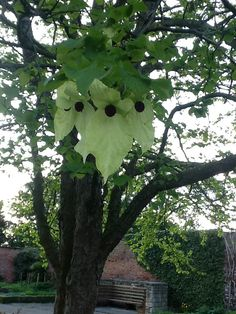 Handkerchief Tree at Lotherton Hall