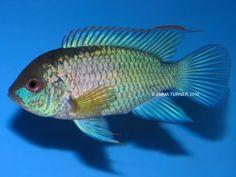 Electric Blue Acara (Andinoacara pulcher) www.fishkeeper.co.uk  #tropicalfish