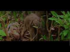 The story of the Elephant Reintroduction Foundation and its mission to return captive Asian elephants back to the wild in Thailand. Elephant Gif, Asian Elephant, Elephant Videos, Elephants Never Forget, Save The Elephants, World Elephant Day, Thailand Elephants, Beautiful Creatures, Documentaries