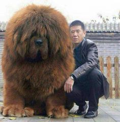 Tibetan Mastiff - want this massive, cuddly, teddy bear doggie! ♥ For some reason, I like dogs that are either very tiny, or totally huge. Not so much on average or in-between. Cute Funny Animals, Funny Animal Pictures, Cute Baby Animals, Funny Dogs, Animals And Pets, Silly Dogs, Huge Dogs, Giant Dogs, Cute Big Dogs