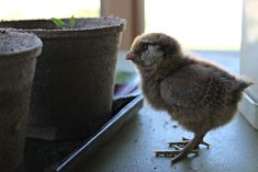 How to take care of baby chicks: Tips and tricks for your new flock! I felt as nervous as a new mom when I brought my first flock of chicks home with me. Organic Chicken Feed, Baby Chicks, Our Baby, Idaho, New Moms, New Baby Products, Roots, Babies, Tips