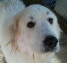 Molly is an adoptable Great Pyrenees Dog in Neshkoro, WI. The second member of our Terrific Trio (see description under 'Bobbi'), Molly is four years old and has a strikingly cute pair of black eyebro...
