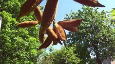 Park Bahçe . Çiçekli Ağaç , Pamuk Ağacı