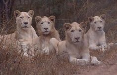 rare white lion pack in africa