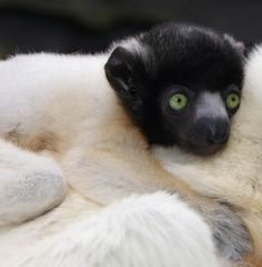 Baby crowned sifaka on mom's back ... so cute!