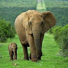 beautiful creatures. .!! From :  @africansforelephants -  I love how luxuriously green this picture by Ann and Steve Toon is! They took it at Addo National Park South Africa...  . . For info about promoting your elephant  art or crafts send me a direct message @elephant.gifts or email elephantgifts@outlook.com  . Follow @elephant.gifts for beautiful and inspiring elephant  images and videos every day! . #elephant #elephants #elephantlove