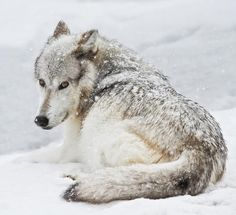 beautiful-wildlife: Laying Out In A Winter Storm by Athena Mckinzie Beautiful !!! \O/
