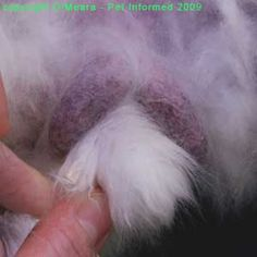 Sexing rabbits images - This is a close-up photograph of the male rabbit's genital region. The thin-skinned, purple-coloured scrotal sacs are clearly visible and have been labeled. Raising Rabbits For Meat, Raising Farm Animals, Meat Rabbits, Rabbit Habitat, Urban Ideas, Rabbit Pictures, Animal Help, Animal Science, Down On The Farm