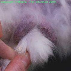 Veterinarian site on sexing livestock..rabbits