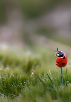 Lady bug in the grass (Image: Ein Halm Halt by Birgit Franik) Beautiful Bugs, Beautiful World, Lady Bug, Photo Coccinelle, Photo Macro, Nanu Nana, Backgrounds Wallpapers, Foto Poster, A Bug's Life