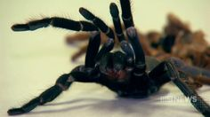 Spider venom can help chronic pain and IBS.