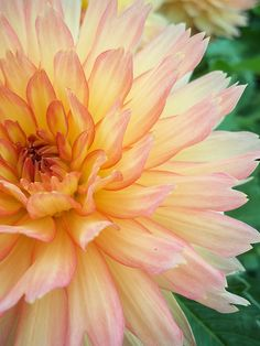 I planted this exact dahlia this spring and the flowers are stunning! And huge, about the size of grapefruits!!