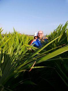 Brazil coconut plantations
