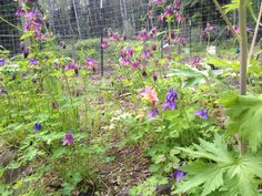 The flowers in our perennial bed seem to erupt from nowhere in a short period of time. It's almost like the plants know they need to show off because the summer's so short here in Interior Alaska.