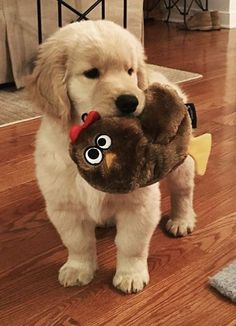 Cute golden with his stuffed toy #BigDog