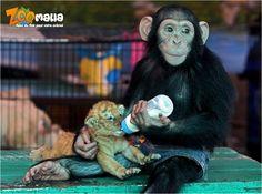 #monkey #tiger #singe #tigre #bebe #baby #biberon #animalerie #zoomalia http://www.zoomalia.com