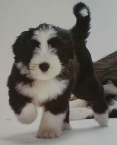 Bearded Collie Baby Puppies, Cute Puppies, Cute Dogs, Dogs And Puppies, Bearded Collie Puppies, Baby Animals, Cute Animals, Kitten Love, Lap Dogs