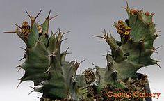 euphorbia tortirama Cactus Gallery