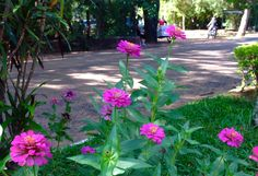 Zinias en el Jardín botánico