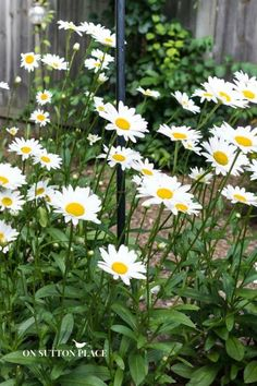 Must-Have Perennials: Shasta Daisy | Hardy Perennials | Hardy Plants | Garden Perennials | easy to grow plant suggestions from a DIY gardener.