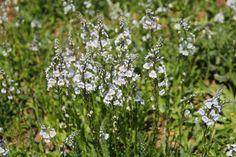 Veronica beccabunga - Der Bach-Ehrenpreis Wunderwaffe gegen Frühjahrsmüdigkeit. Als Salat oder Saft hilft es beim Entschlacken und macht fit.