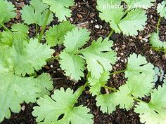 Harvesting Cilantro. Ooooooh, now I get it.....never could figure out how to keep it going! - #Garden
