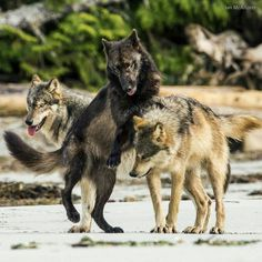 "the-smiling-wolf: ""The Sea Wolves of Coastal BC.  """