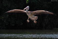 a heavy and impressive waterbird, shot in south Karnataka.