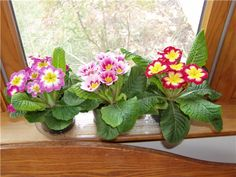 Primroses. Eventually I planted these outside