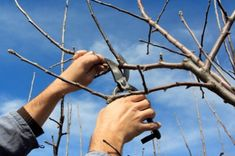 While it may be tempting to prune deciduous trees in the temperate days of early fall, you shouldn't trim a tree before it's dormant. Pruning too early, when the tree still has leaves, can increase the risk of tree-borne diseases. Prune Fruit, Pruning Fruit Trees, Tree Pruning, Citrus Trees, Peach Trees, Deciduous Trees, Trees And Shrubs, Tree Care, Lawn Care