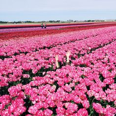 i put up all of the photos from the incredible TULIP FIELDS today on the blog!
