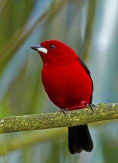 Brazilian Tanager...lovely bright color by esmeralda