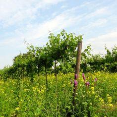 Vineyard, Plants, Outdoor, Outdoors, Vine Yard, Vineyard Vines, Plant, Outdoor Games, The Great Outdoors